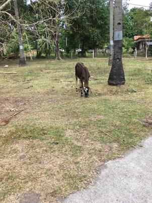 敷地の外にいた牛